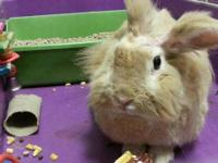 Lionhead - Little B - Medium - Adult - Male - Rabbit