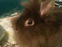 Lionhead - Luna - Medium - Adult - Female - Rabbit Luna