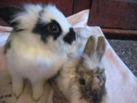 Lionhead - Medium - Young - Female - Rabbit