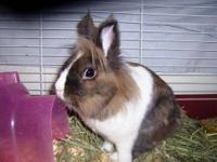 Lionhead - Michaelangelo - Small - Adult - Male -