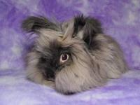 Lionhead - Murphy - Medium - Young - Male - Rabbit