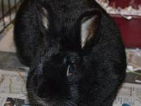 Lionhead - Nova - Medium - Adult - Female - Rabbit I'm