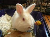 Lionhead - Pearl - Small - Young - Female - Rabbit
