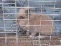 I have for sale Mufasa, a male Lionhead rabbit. I got