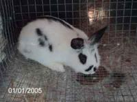 I have a male lionhead rabbit. Approximately 3 - 4