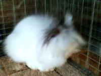 I have a cute, loveable lionhead doe. She's 6 mos. old.