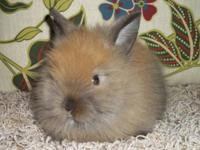 I have purebred Lionhead rabbit babies for sale! I have