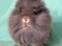 I have purebred Lionhead rabbit babies for sale! All of