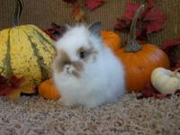 Purebred Lionhead rabbit babies for sale! Contact Ryan