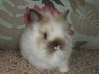 I have purebred Lionhead rabbit babies for sale. All of