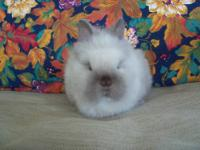 Lionhead rabbit babies for sale! I have many great