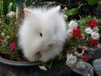 I have purebred Lionhead rabbit babies for sale! Please