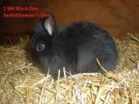 I have 2 Single Mane Lionhead baby bunnies for sale.