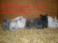 I have 2 Lionheads litters available. They are healthy