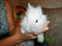 Description i have 7 lionhead bunnies 2 left that are 8