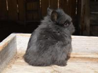 I have three black lionhead bucks for sale. They are