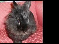 Lionhead - Rafiki - Small - Adult - Male - Rabbit