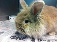 Lionhead - Silky - Medium - Young - Female - Rabbit