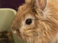 Lionhead - Skipper - Small - Adult - Female - Rabbit