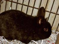 Lionhead - Stewie - Small - Young - Male - Rabbit