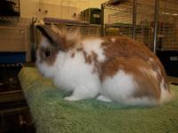 Lionhead - Sugar - Small - Young - Female - Rabbit