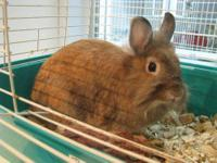 Lionhead - Thelma - Small - Young - Female - Rabbit