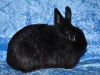 Lionhead - Tink - Small - Young - Male - Rabbit Tink is