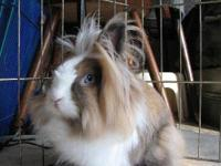 Lionhead - Toby - Small - Young - Male - Rabbit Toby is