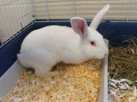 Lionhead - Jubilee - Medium - Young - Female - Rabbit