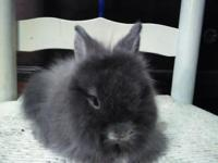 Lionhead Rabbits-all listed -$25 each, except black and