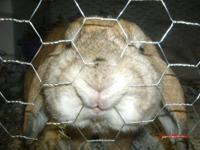 Lionhead - Warren - Medium - Young - Male - Rabbit