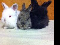 True show quality rabbits available. Our show stock