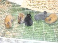i have two lionheads,1 solid black male double coat.1
