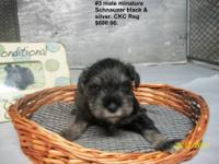 Lisa's #3 male black and silver minature schnauzer is a