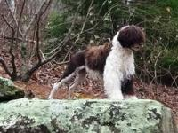 Boardwalk Portuguese Water Dogs is excited to announce