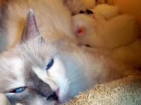 3 Fat & Sassy Purebred Ragdoll Kittens Litter