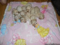 We have a litter of cocker spaniel puppies beautiful