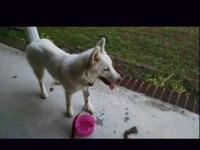 Mama is 45 pound pure white husky. (Runt of her