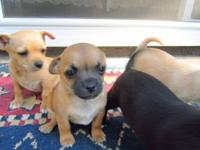 Teacup Chihuahuas ready to be sold!!! Adorable, tiny