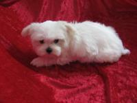 Little Bear is a tiny male Maltese ready to go. He is