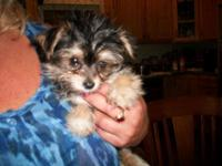 Adorable tiny morkie male puppy. He is absolutely