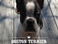 Boston Terrier male puppy His dob-2-15 he was 8 weeks