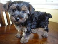 This is a little boy Yorkshire Terrier. He was born
