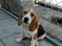 Brown is a N.K.C. Registerable male Beagle. I love his