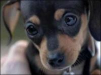 Dachshund + Chihuahua (Chiweenie) 3 month old female