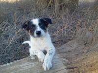 Bordee Collie/ Blue Heeler Puppies First shots and