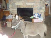 cute miny donkey 7 months old very gentle work great