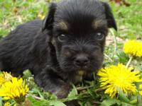 little yorkiepoo male his Dobn March 13 he will be 8