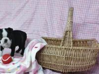 Boston Terrier Puppies: 2 female available - had first