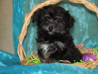 This cute girl is an AKC registered havanese female !
